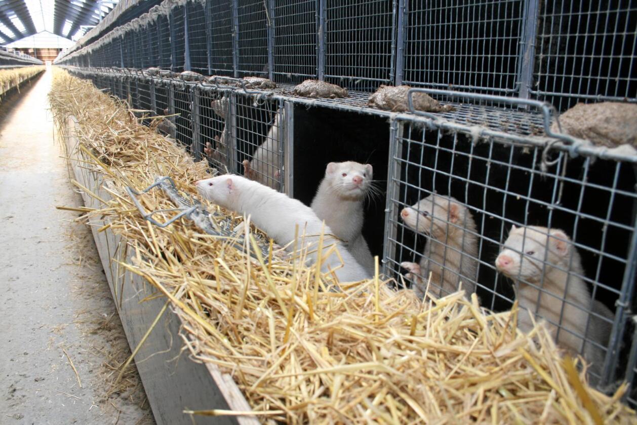 Flytter problemer: Målrettet norsk avl reduserer adferdsproblemer hos dyr. Forbud flytter problemene ut, skriver kronikøren. Foto: Bjarne B. Aase
