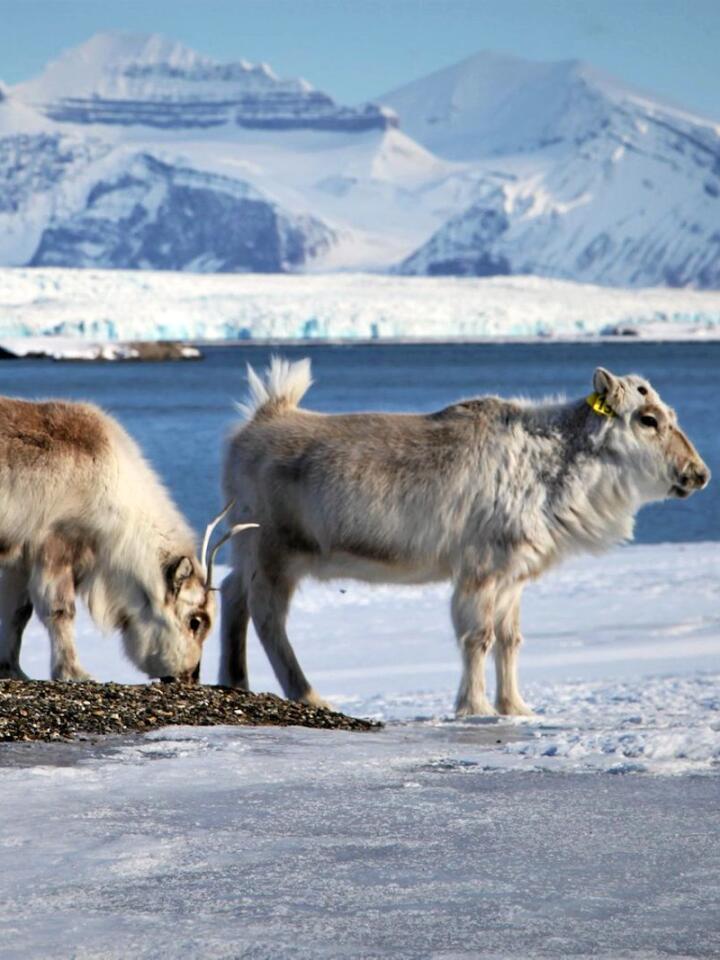 Reinsdyr har holdt til på Svalbard i minst 3600 år. De var nær ved å bli utryddet for hundre år siden. Foto: Brage Bremset Hansen