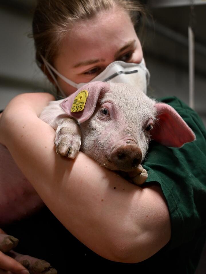 En skikkelig kosegris. I en travel og lang arbeidsdag er det tid for nærkontakt i grisehuset hos Elise Eng (21) i Halden. Foto: Mariann Tvete