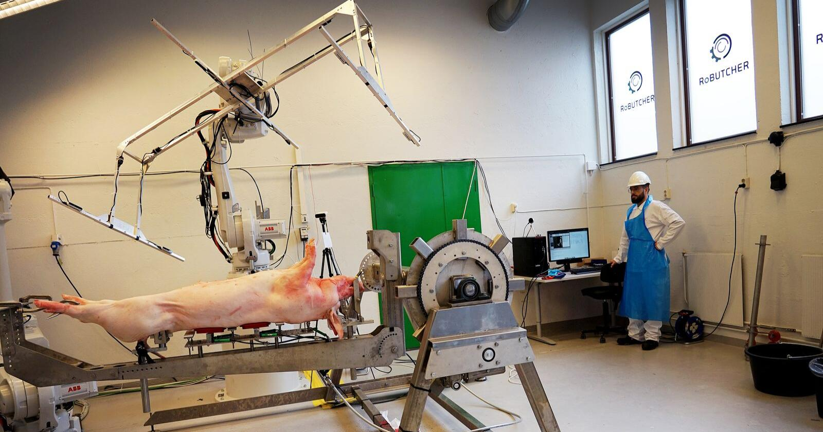 Doktorgradstipendiat ved NMBU, Ian Esper, følger med når grisen blir 3D-scannet av en robot. På sikt skal roboten skjære opp grisen. Foto: Ingjerd Sørlie Yri