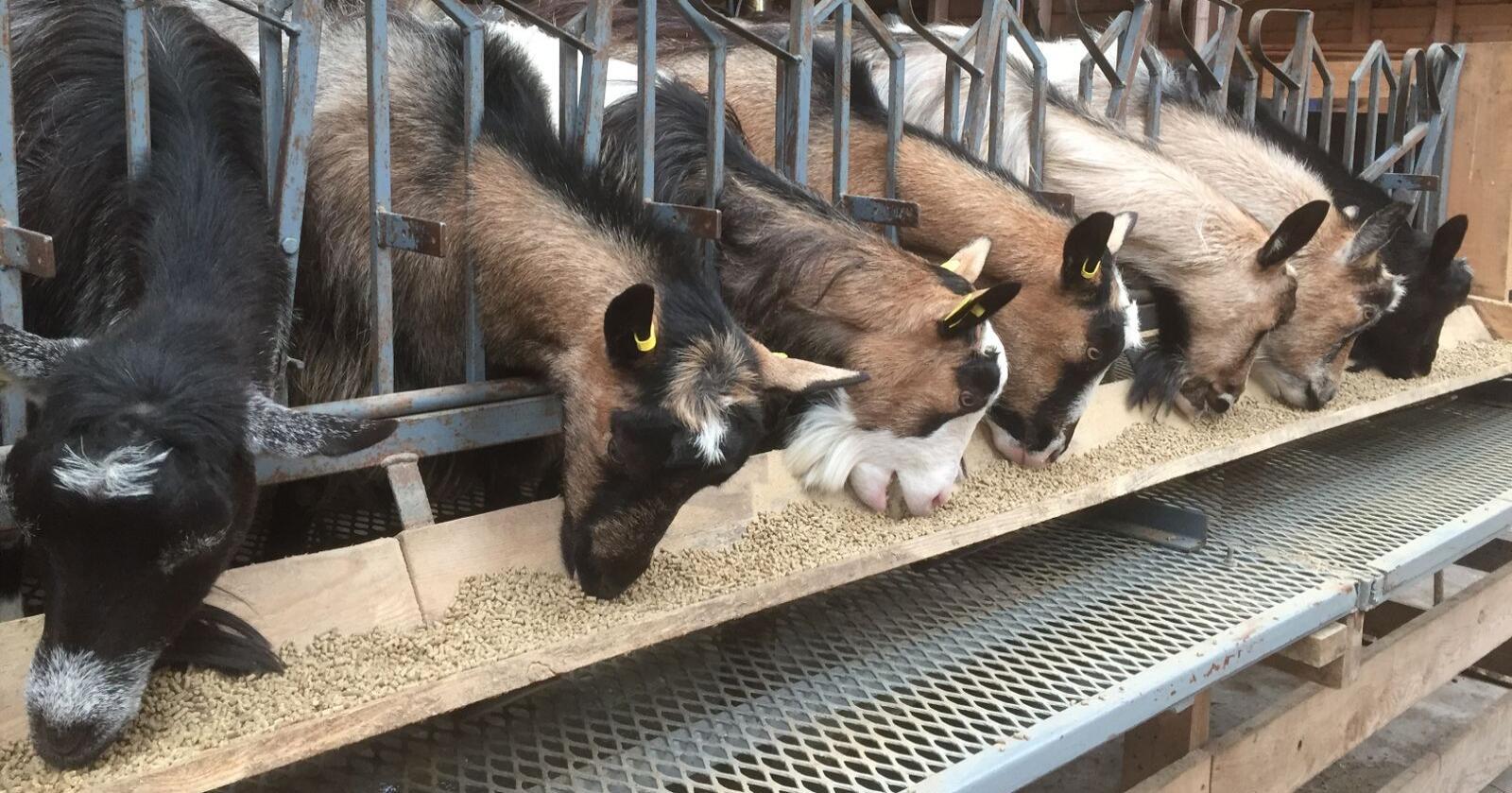 Det kan være aktuelt å lage et prissystem der kraftfôr til drøvtyggere prises høyere enn kraftfôr til andre husdyr, bemerker gruppa. (Foto: Karl Erik Berge)