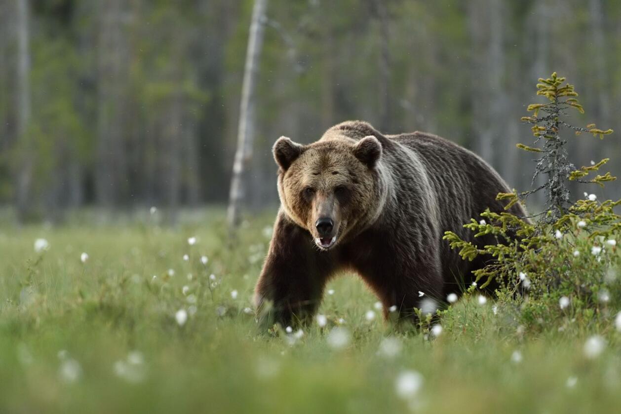En bjørn som har oppholdt seg i Sølendalen i Rendalen i Østerdalen skaper bekymring hos sauebønder som snart skal slippe dyrene sine på utmarksbeite. Illustrasjonsfoto: Mostphotos