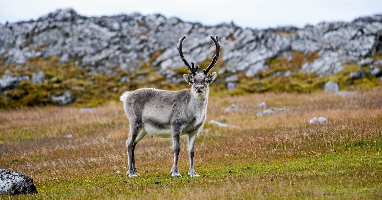 Ulven har allerde drept fire reinsdyr tilhørende Rendal Renselskap. Nå frykter de at ulven skal gå inn i samenes område. Foto: Colourbox