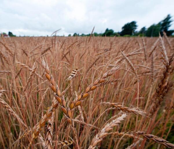 Ifølge Felleskjøpets prognose for sesongen som starter i september, vil det bli altfor lite hvete, og spesielt fôrhvete, i kommende sesong. Foto: Ove Bergersen/NTB Scanpix