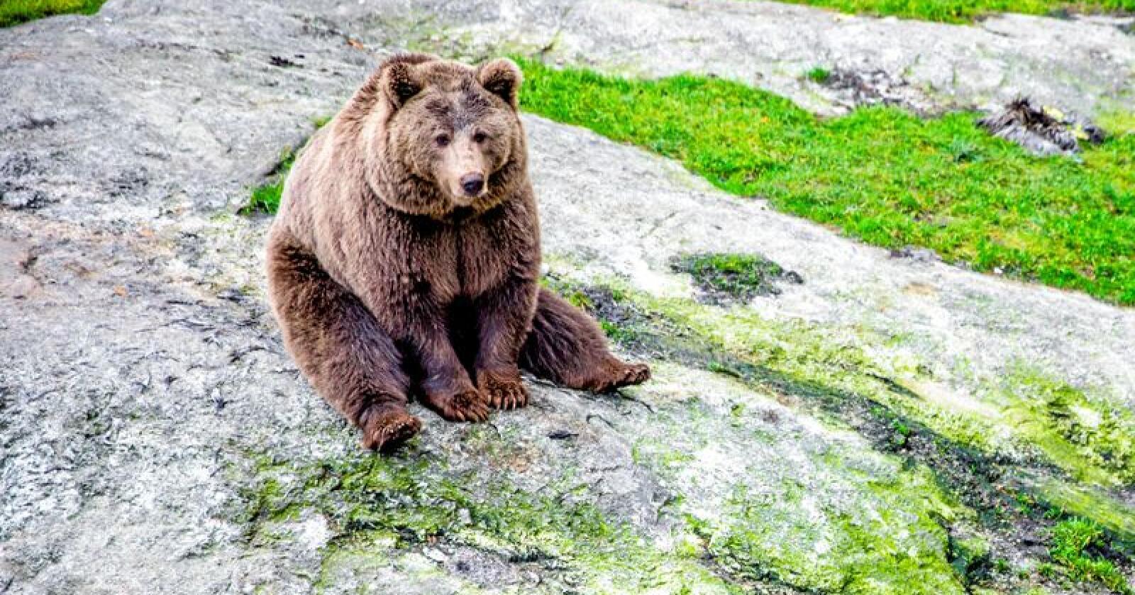 Brunbjørnane er totalfreda og står på raudlista over truga artar i Noreg. No viser ei nasjonal overvaking positiv utvikling for bestanden. Foto: Stian Lysberg Solum / NTB scanpix / NPK