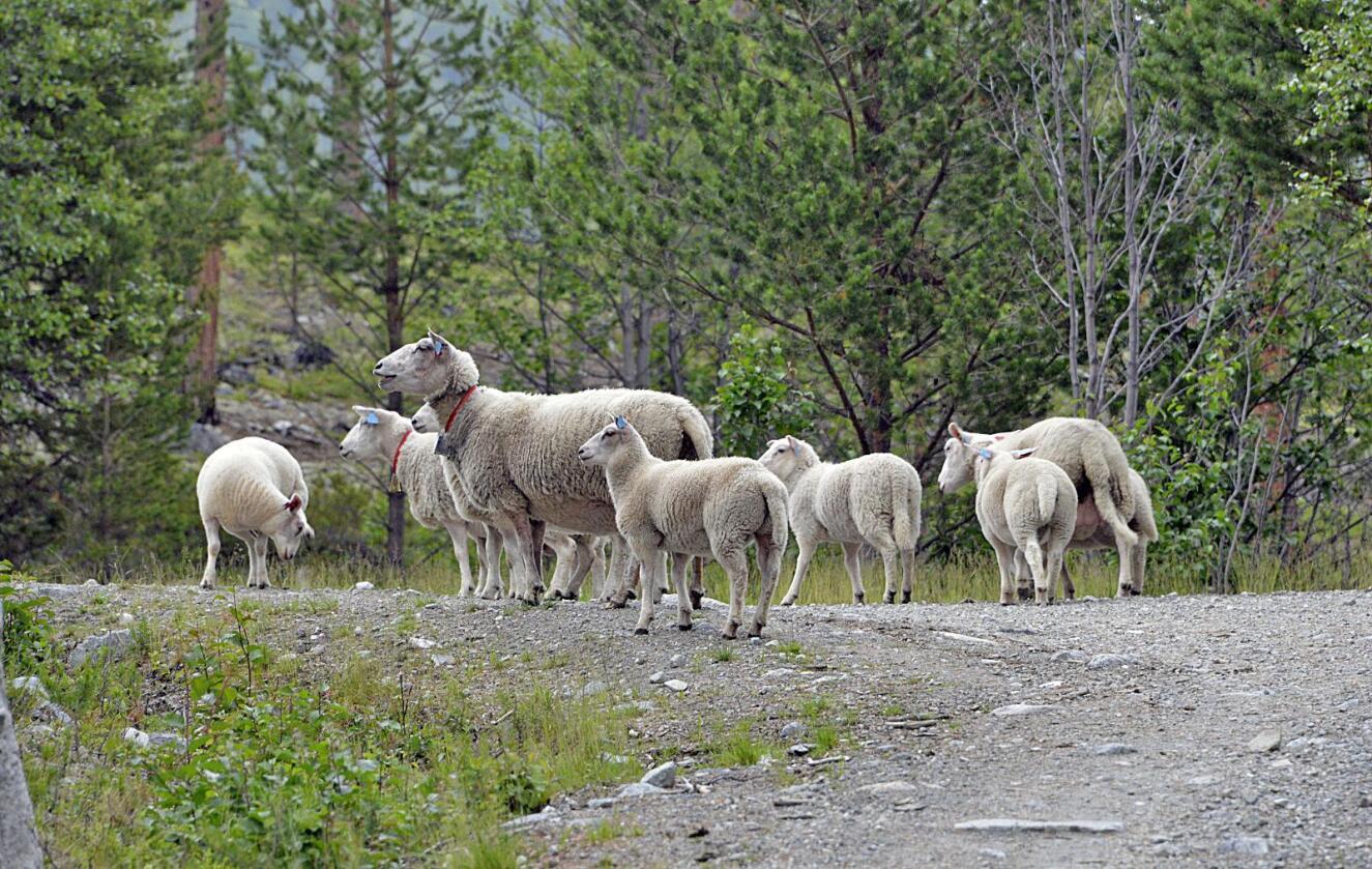 Farlig veisalt: Salt for å binde støv på grusveier har så langt drept ni sauer på beite i Sel. Fagfolk har aldri vært borti noe lignende. Miljøaktører frykter mørketall. Foto: Lars Kristian Steen