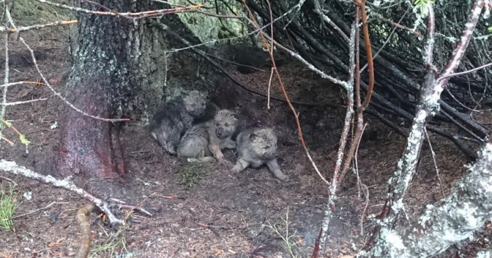 Tre ulvevalper i Osdalenreviret fotografert av Statens Naturoppsyn i 2017. Foto: Statens Naturoppsyn / NTB scanpix