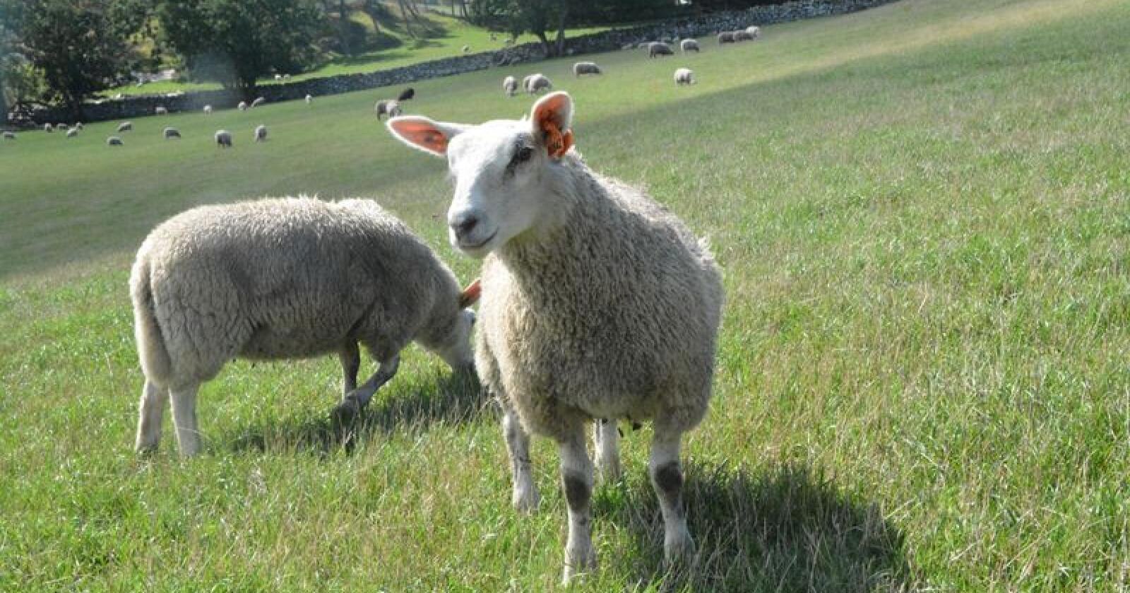 Fortsatt tungt i småfemarkedet: Til tross for vedvarende overskudd i sau/lam-markedet, har Norge importert 390 tonn lammekjøtt. Dersom Nortura ikke foretar seg grep i markedet, eller forbruket ikke endres, vil ikke dette markedet være i balanse – eller «noenlunde» balanse – før i 2025, skriver Nortura selv.Foto: Anders Sandbu
