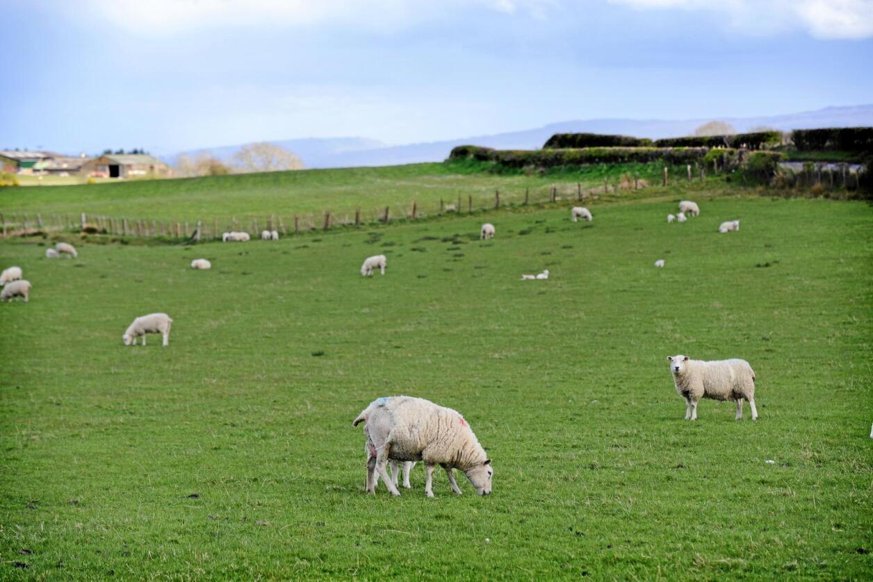 Disse fredfulle sauene i Skottland fikk heldigvis gå i fred da Nationen var på besøk høsten 2016. Men årlig forsvinner drøyt 67.000 sauer fra åkre rundt omkring i landet, ifølge den nasjonale bondeorganisasjonen National Farmers' Union. Foto: Siri Juell Rasmussen