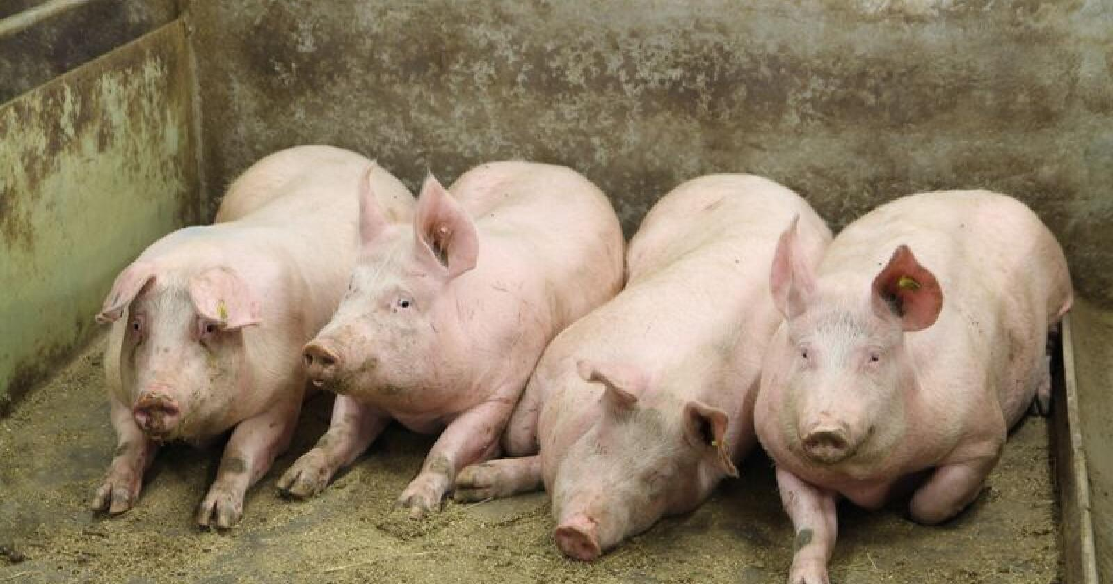 Kan antidepressiva gjøre grisen lykkeligere? Foto: Øystein Heggdal