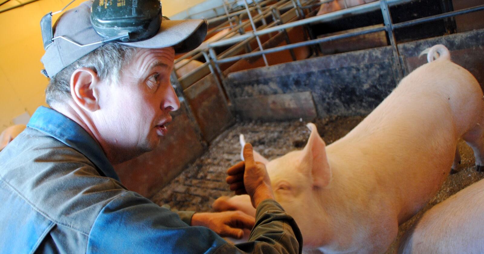 Svinebonde i Ås, Kjell Skuterud, opplever at arbeidsmengden går utover helse og familieliv. Foto: Lars Bilit Hagen