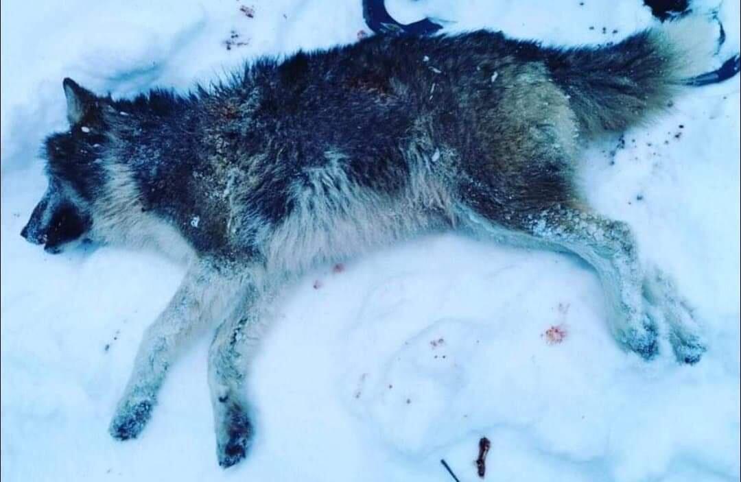 Nummer 11: En enslig ulv har markert ved Kynnareviret. Illustrasjonsfoto: SNO