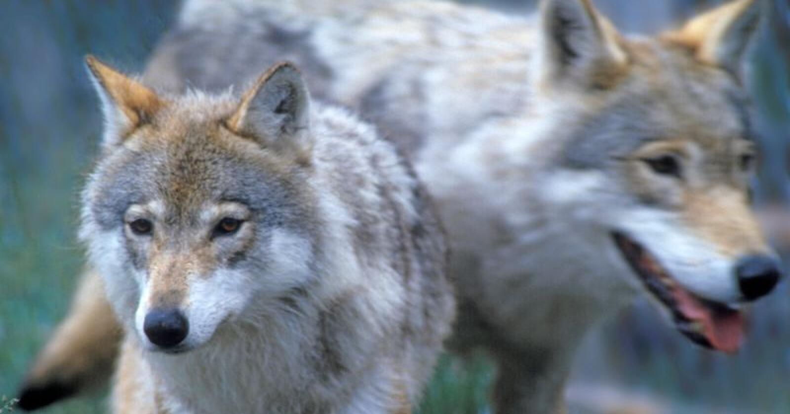 Opphavet til norske ulver skal dokumenteres. Foto Per Løchen / NTB scanpix