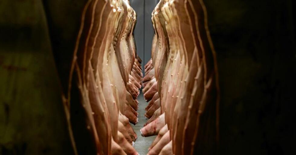 Slakting av svin i Norge. Illustrasjonsfoto: Cornelius Poppe / NTB scanpix