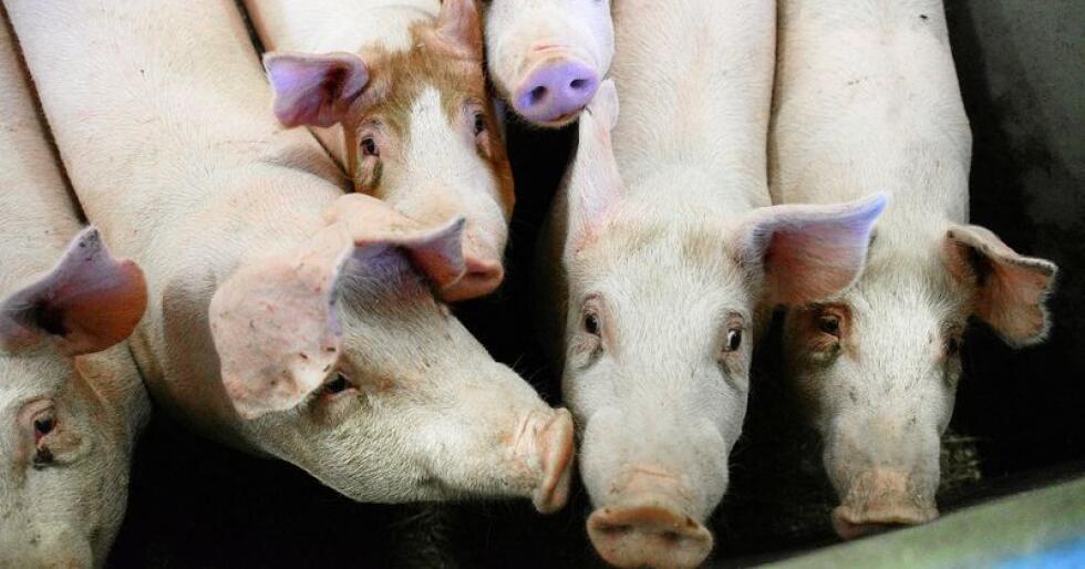 Desse grisane har det bra og er ikkje med i NRK-filmen. Illustrasjonsfoto: Siri Juell Rasmussen