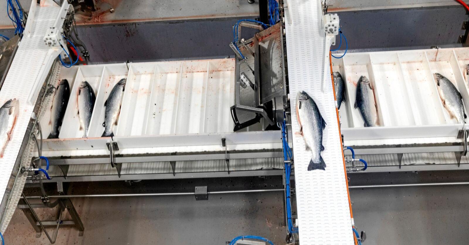 Canada følger etter USA og EU og går til søksmål mot norske lakseoppdrettere mistenkt for prissamarbeid. Foto: Gorm Kallestad / NTB scanpix
