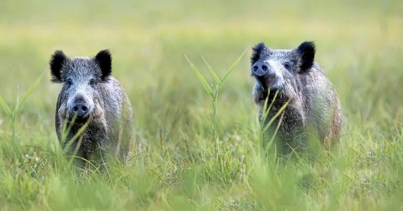 Villsvin: Tas på alvor, sier Mattilsynet. Foto: Mostphotos
