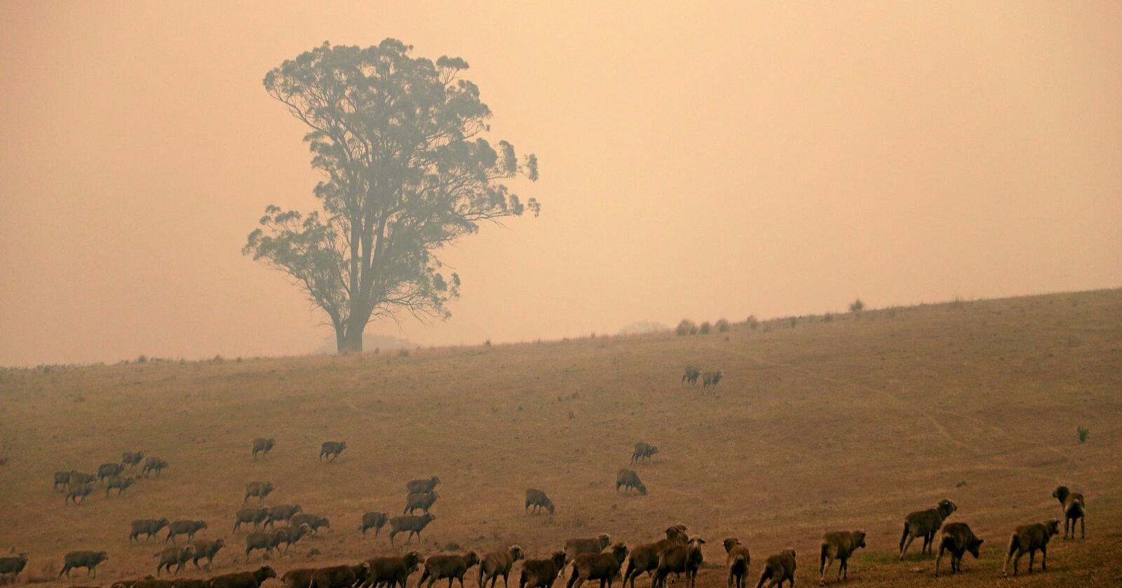 Ein saueflokk i røykskyene i nærleiken av Burragate i Australia laurdag 11. januar. Foto: Rick Rycroft/NTB Scanpix