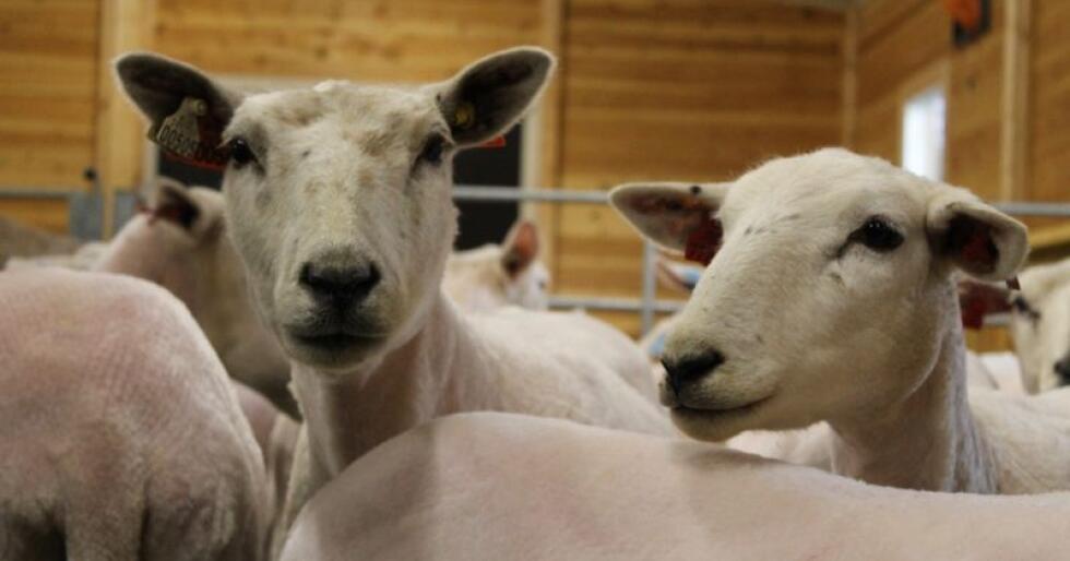 Medias fokus på overskuddslagrene av sauekjøtt, har ført til økt etterspørsel hos både butikker og slakterier. Arkivfoto: Norsk Landbruk