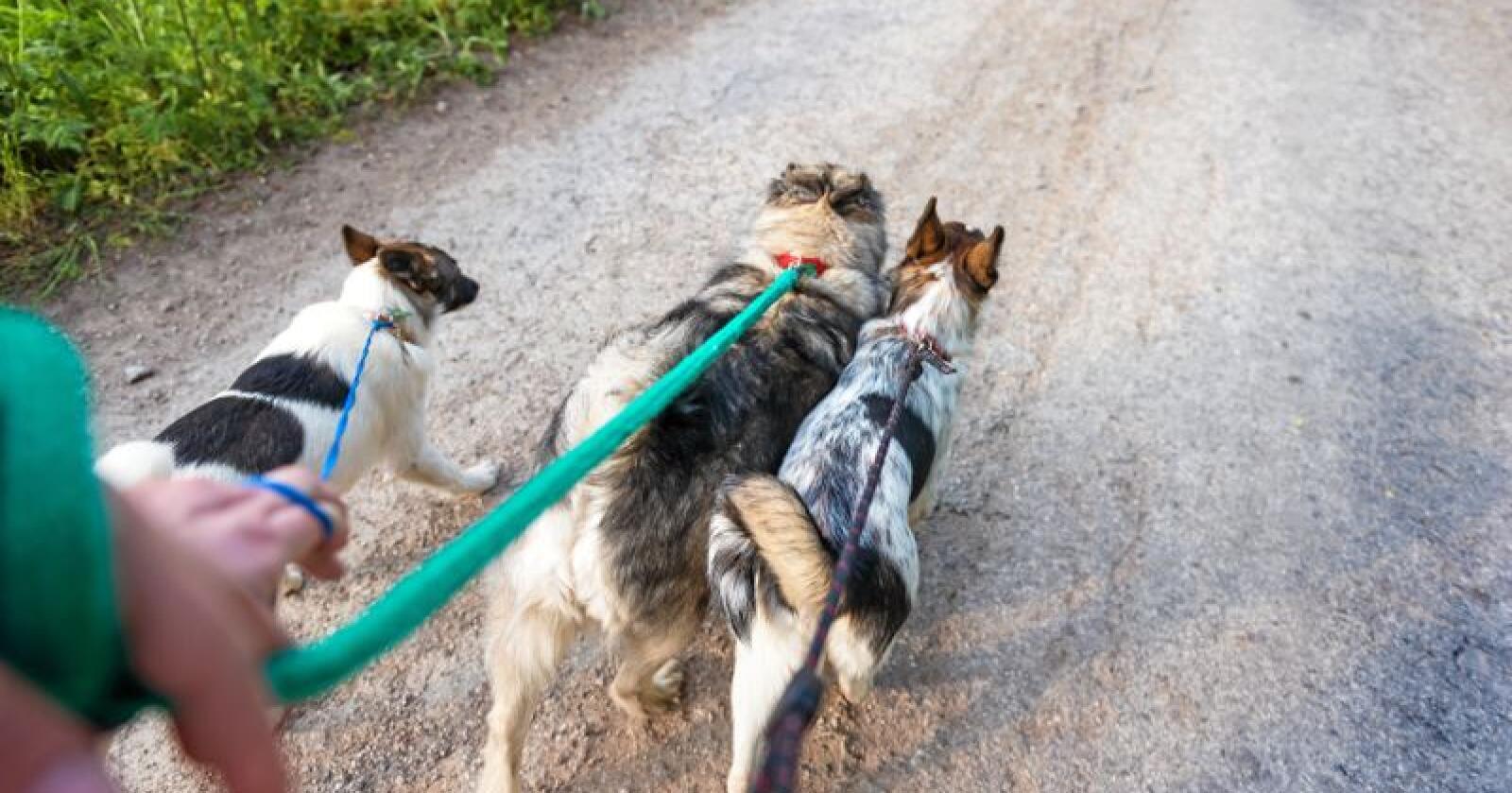 Hvilken type hund du har påvirker mest sannsynlig også holdningen til ulv. Foto: HalfPoint s. r. o.