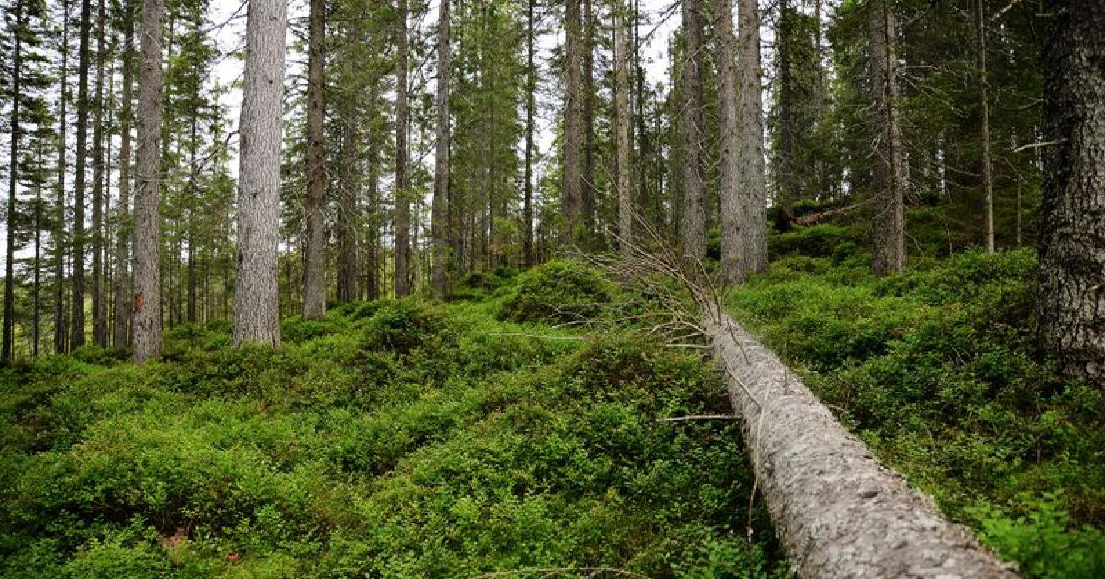 Hogstmoden: Klimaet trenger skogbruk, skriver innsenderen. Foto: Siri Juell Rasmussen