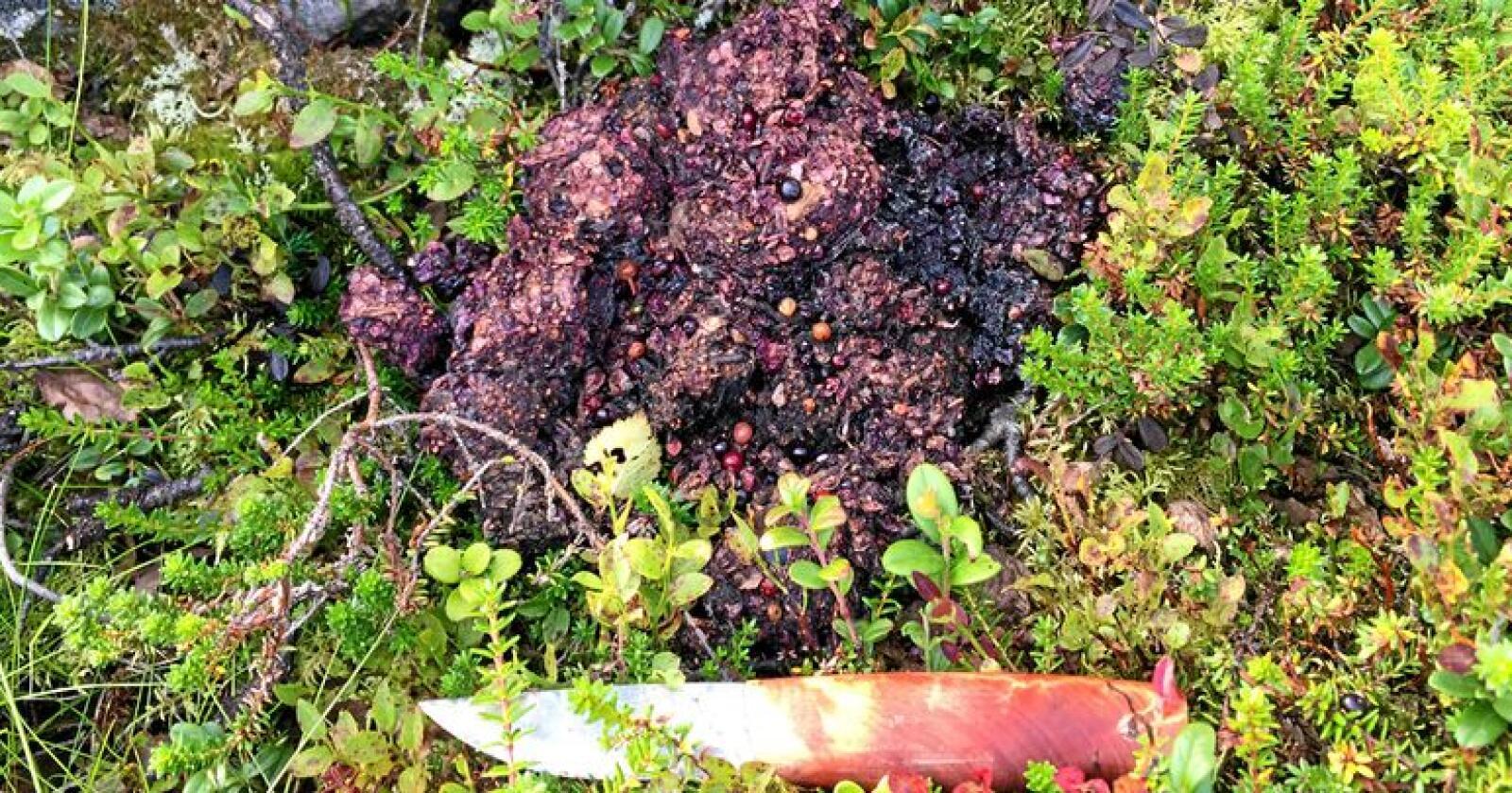Bjørnebæsj inneholder ofte mye bær på sensommeren og høsten. Foto: Jonas Kindberg/Rovdata