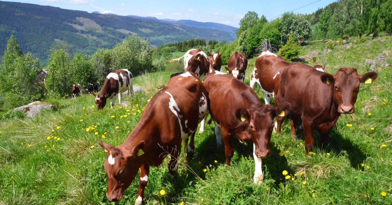 Legger vi ned 5000 gårdsbruk på grunn av feil formel i et regneark hos Miljødirektoratet, er det en dårlig start, skriver Øystein Heggdal. (Foto: Norsk Landbruk)