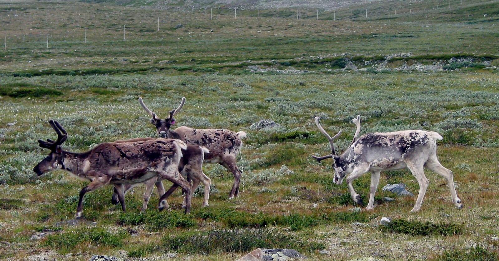 Det er påvist smittsom skrantesyke hos en villreinbukk på Hardangervidda. Her et bilde av reinsdyr på vidda. Illustrasjonsfoto: Lise Åserud / NTB scanpix