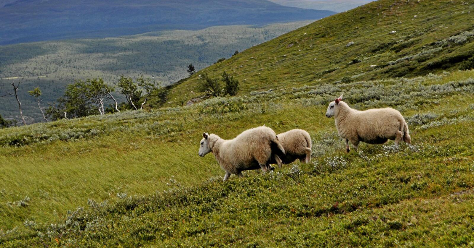 To millioner sauer slippes på utmarksbeite rundt omkring i landet i sommer. I enkelte områder er rovdyr en stor fare. Foto: Hilde Lysengen Havro