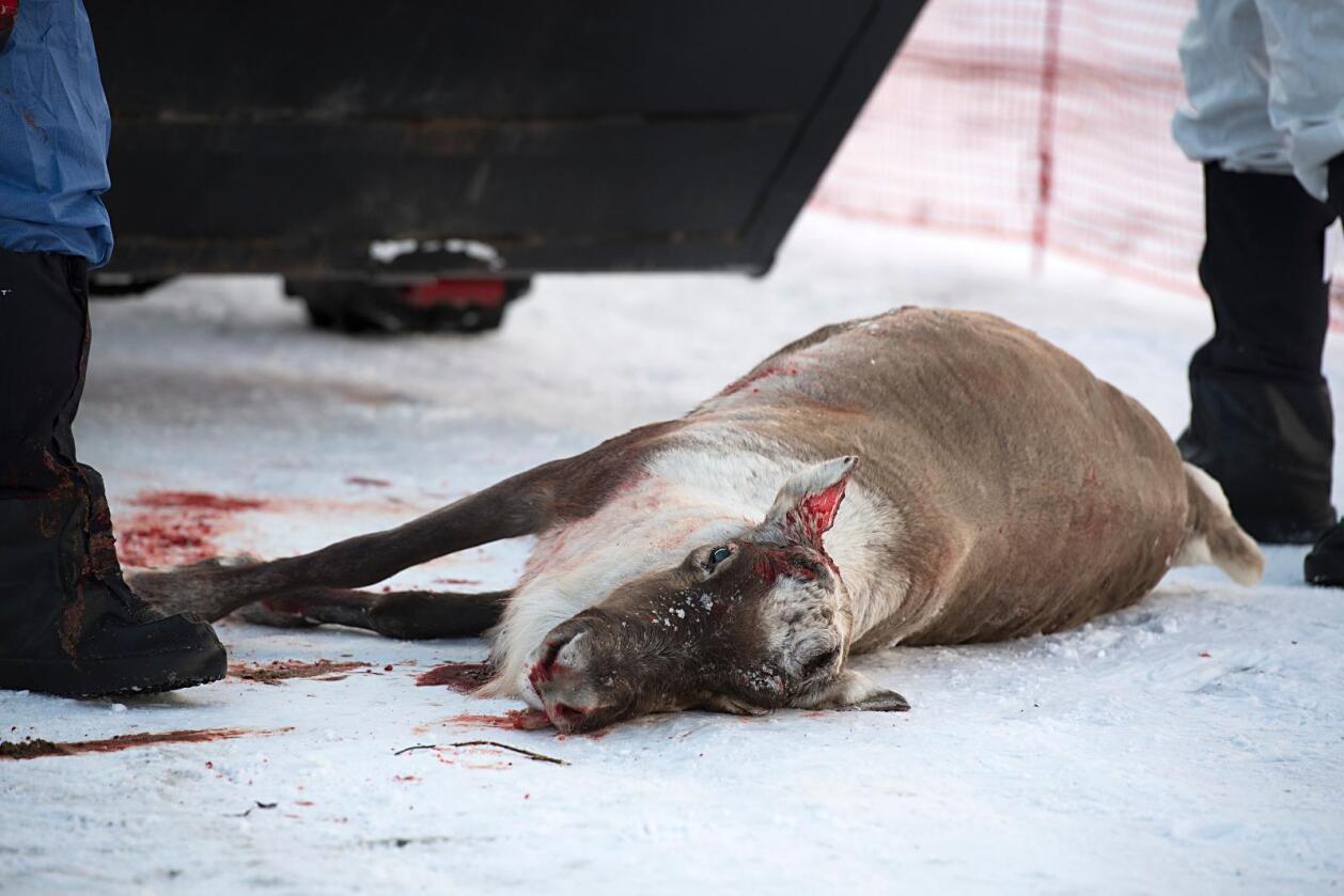 Utrydder stammen: Statlige jegere jobber med å utrydde villreinstammen i Nordfjella etter påvisning av skrantesyke, også kjent som Chronic Wasting Disease (CWD). Foto: Marit Hommedal / NTB scanpix