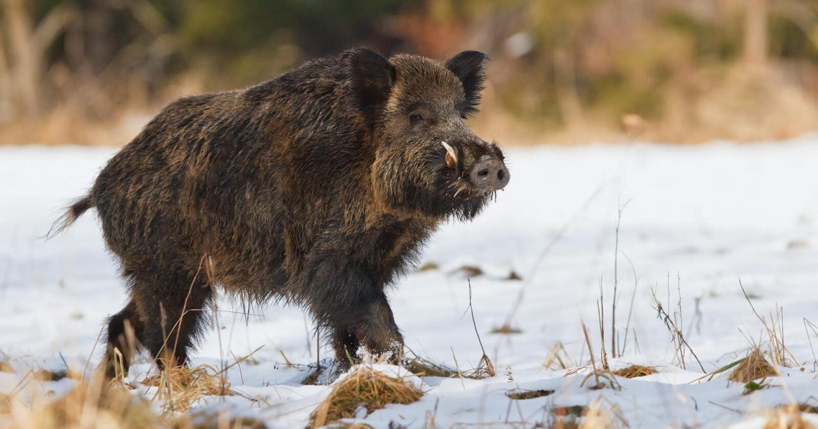 Uønsket: Villsvin er en svartelistet art i Norge. Målet er allikevel ikke å utrydde bestanden her til lands, men at det skal være færrest mulig villsvin fordelt på et minst mulig område. Grunneierbasert bestandskontroll ansees å bli noe av en nøkkel. (Foto: Shutterstock)