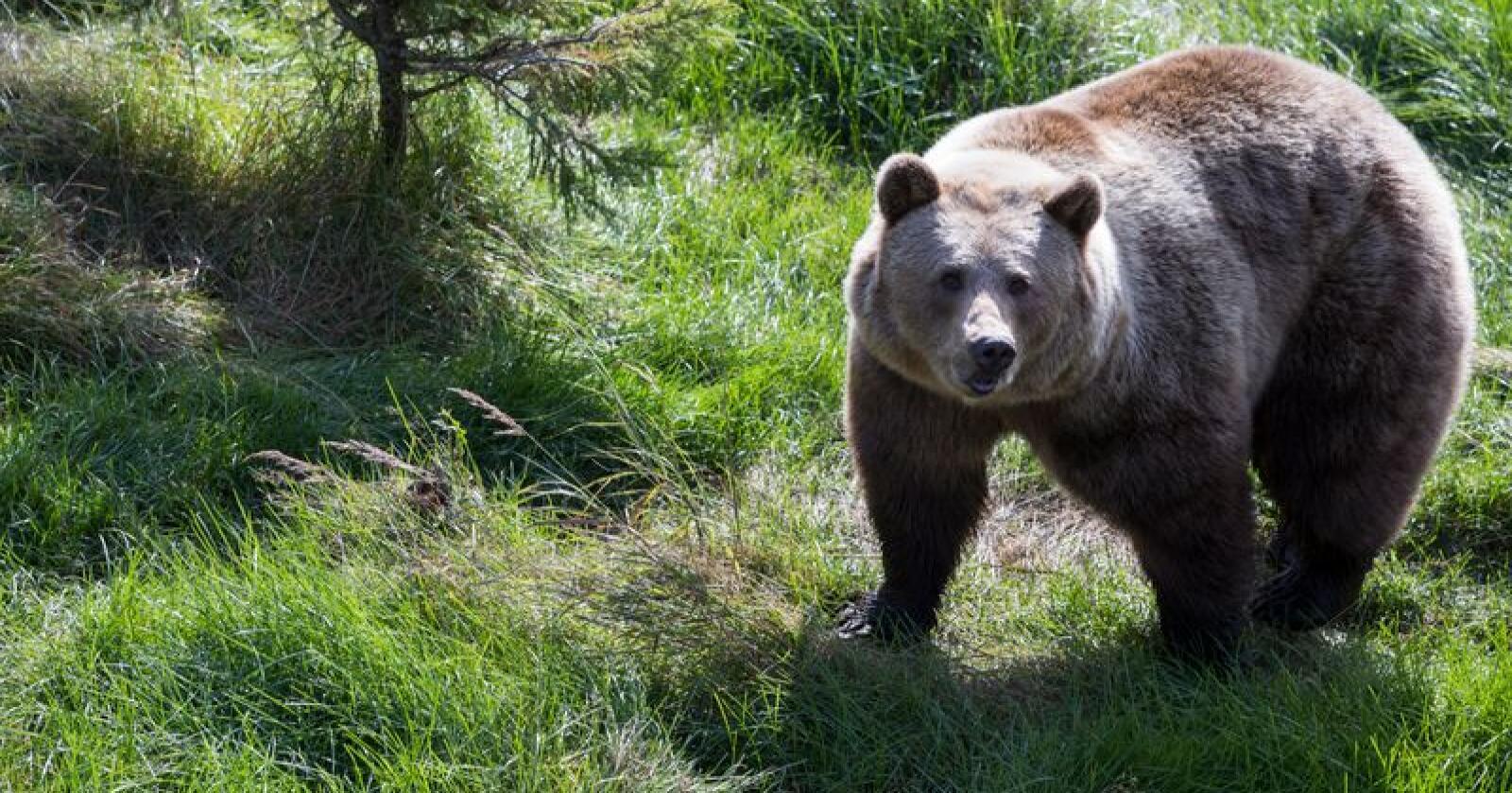 Miljødirektoratet åpner i år ikke for lisensfelling av bjørn fra Trøndelag og nordover. Foto: Berit Roald / NTB scanpix