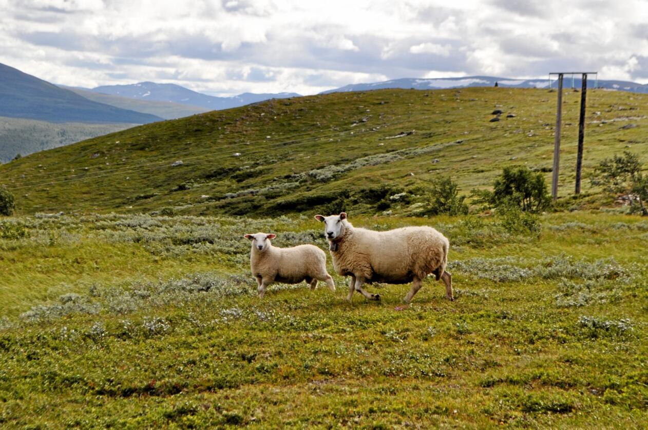 Utmarksressursar: Sauer og kyr kan nyttiggjera seg av dei enorme utmarksressursane i Noreg. Foto: Hilde Lysengen Havro