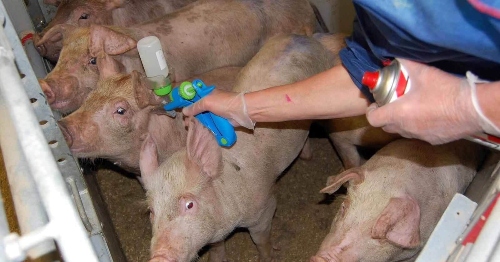 At immunkastrering ikke har blitt noe stor suksess mener Norsvin det er flere årsaker til, blant annet usikker virkning av vaksinen, infeksjoner på injeksjonsstedet og høyere frekvens av halesår som følge av råneadferd. Foto: Bente Fredriksen, Animalia.