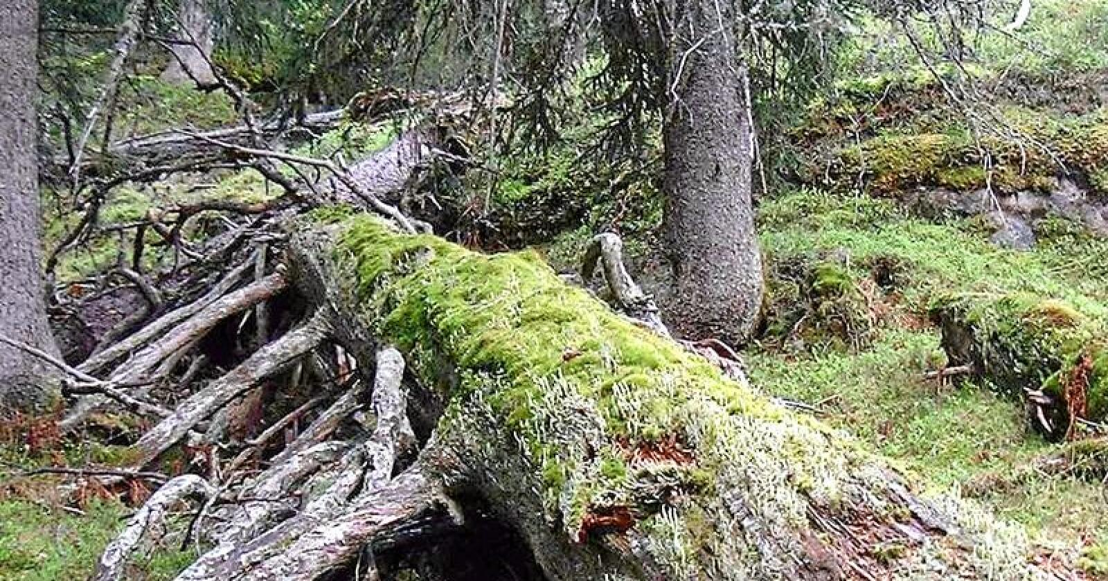 Livgivende: Det blir flere døde trær i skogen, i alle alderskategorier. Disse er viktige for artsmangfoldet. Foto: Naturvernforbundet