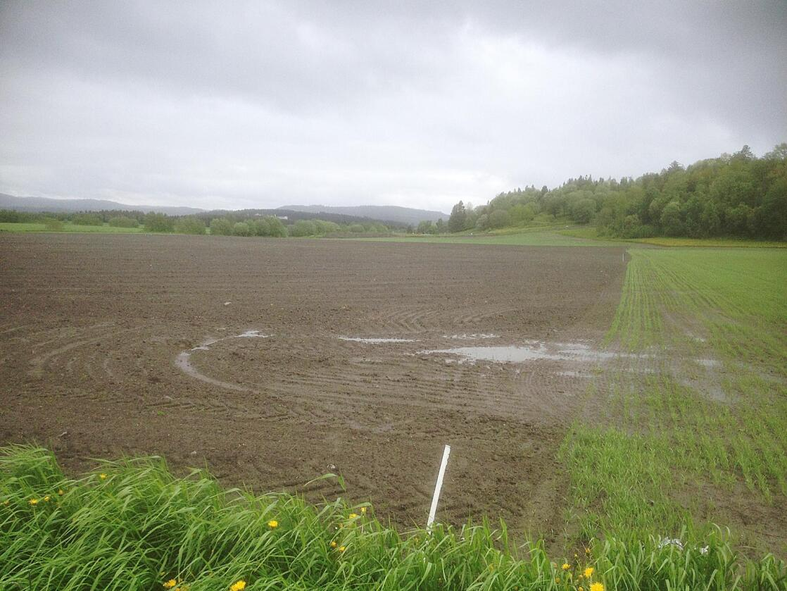 Kornbønder i Nord-Trøndelag er svært hardt rammet av vårens elendige vær. Foto: Jørn Ketil Brønstad / Norsk Landbruksrådgivning