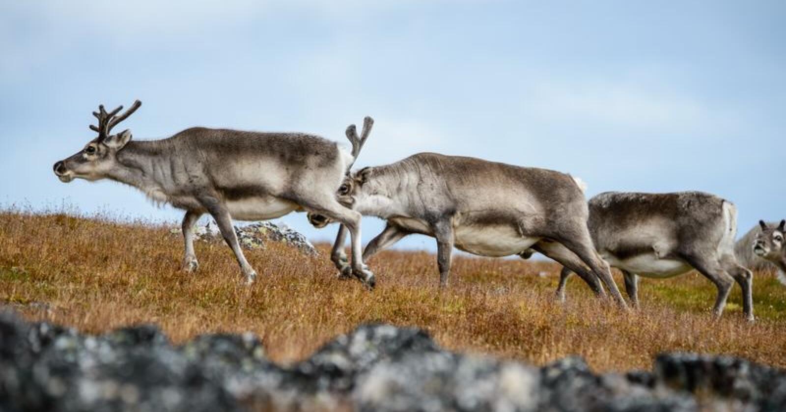 Onsdag utvidet Kriseberedskapsutvalget for Troms og Finnmark området som er rammet. Problemet er dårlige beiter for reinen, den siste tidens snømengder, og vanskelig logistikk for utkjøring av fôr. Foto: Colourbox