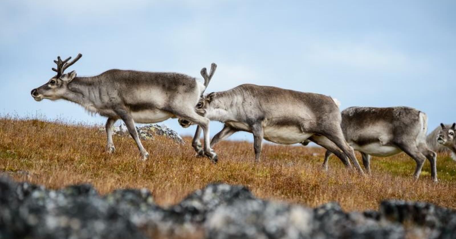 Både tamme og ville hjortedyr skal nå testes i en rekke land. Foto: Colourbox