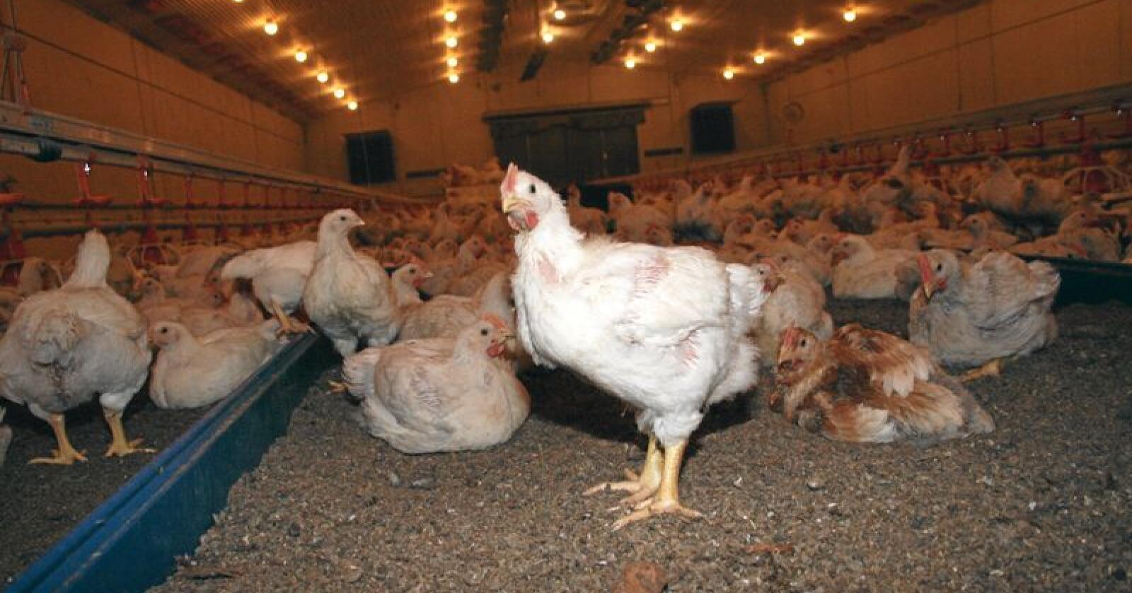 Forskjellar: Meir eksklusive, sakteveksande og utegåande kyllingvariantar har større risiko for å bli smitta av campylobacter-bakteriar enn konvensjonell kylling, ifølgje fagfolk, som nå testar ut kor store forskjellane er. Foto: Bjarne Bekkeheien Aase