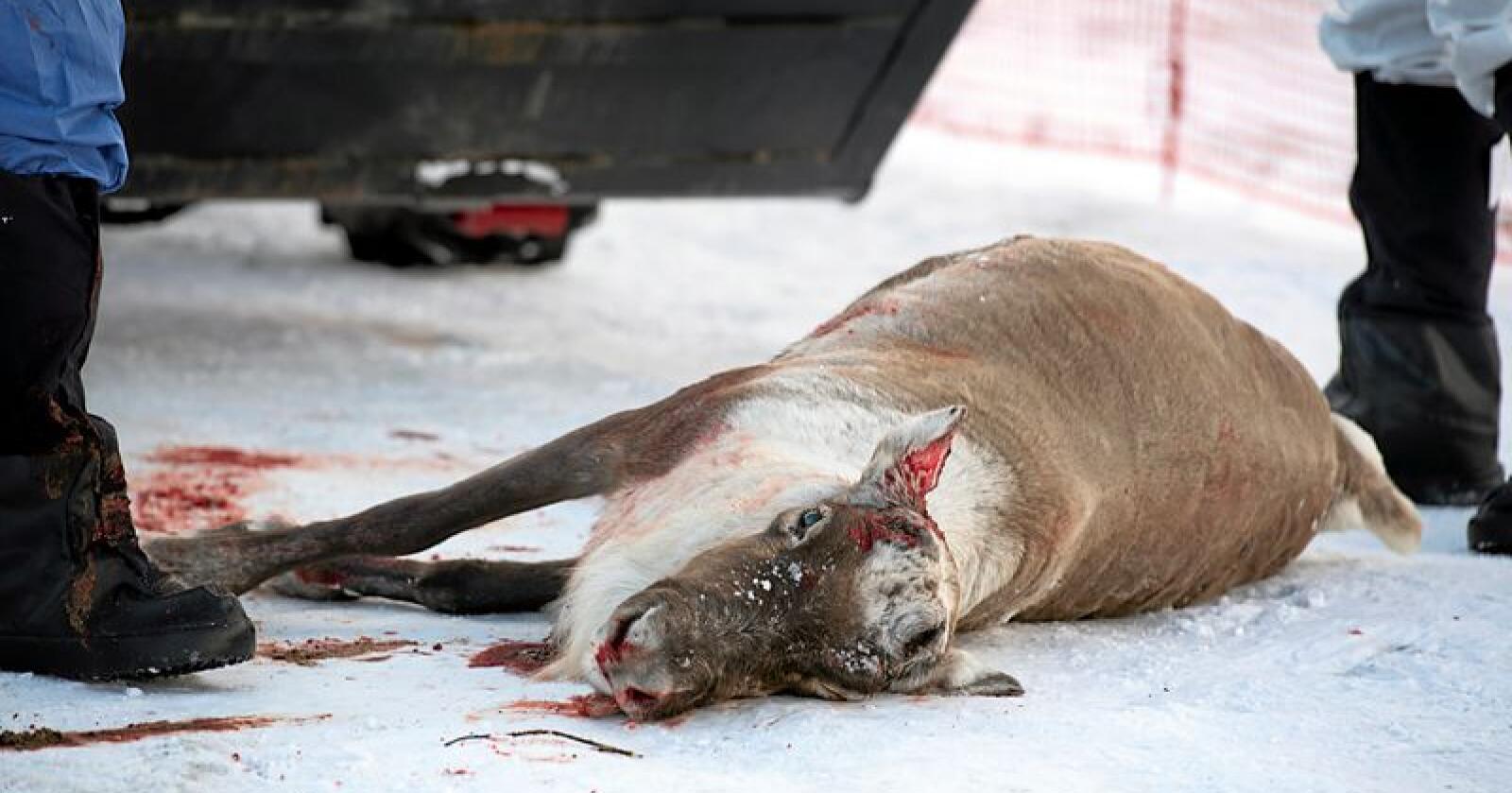 Hatsverk: Hastverket med å avklare om det finnes smitta dyr i Nordfjella og på Hardangervidda står i kontrast til sykdommens langsomme utvikling, skriver innsenderen. Foto: Marit Hommedal/NTB scanpix