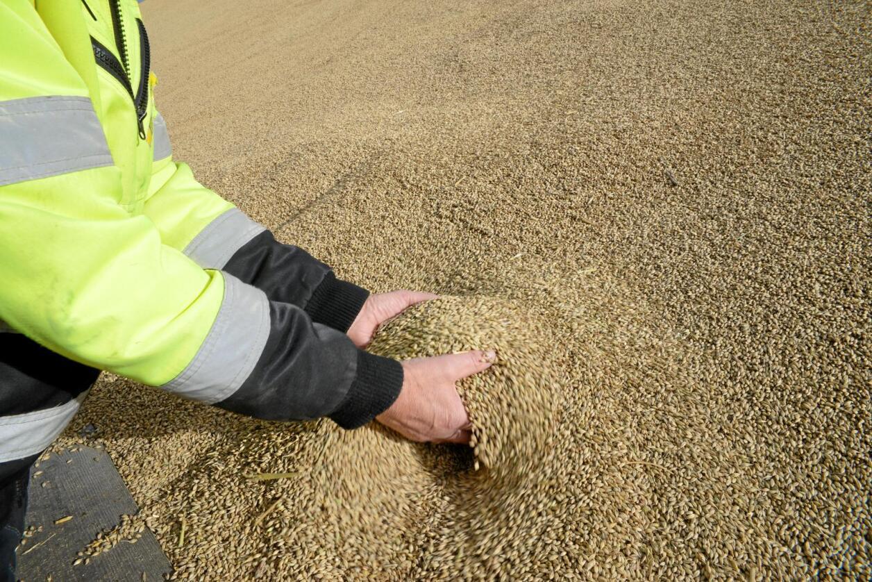Korn: Det er for store forskjeller mellom små og store kornbruk, mener Norsk Bonde- og Småbrukarlag. Foto: Mariann Tvete