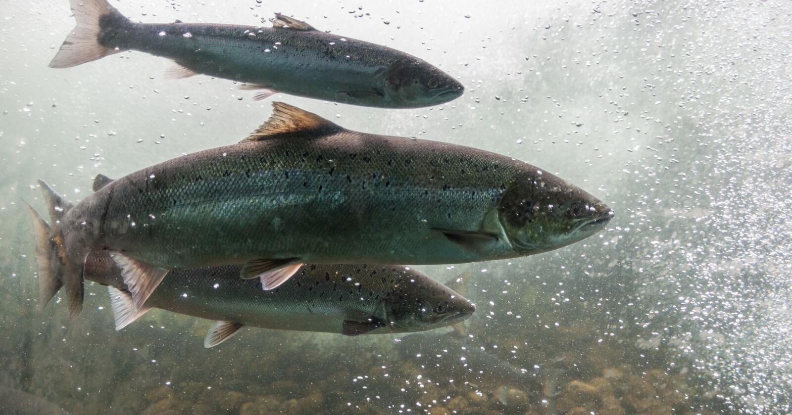 Vannmangel: Fisken som har vært i Skjoma siden isen forsvant, står nå i fare fordi det ikke renner nok vann i elven.  Foto: Mostphotos