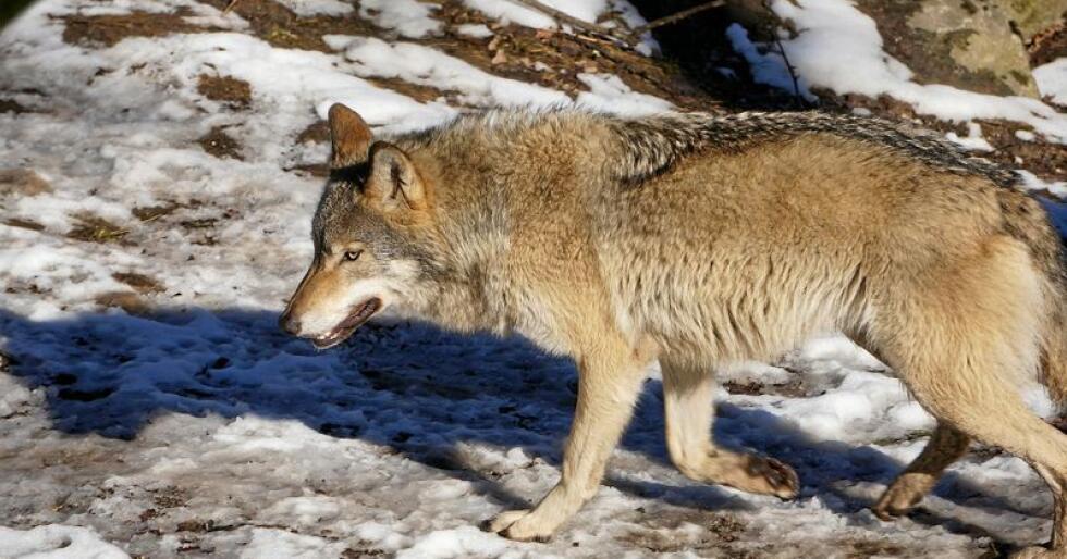 Det blir ikke åpning for å felle ulv på lisens i vinter. Foto: Pixabay