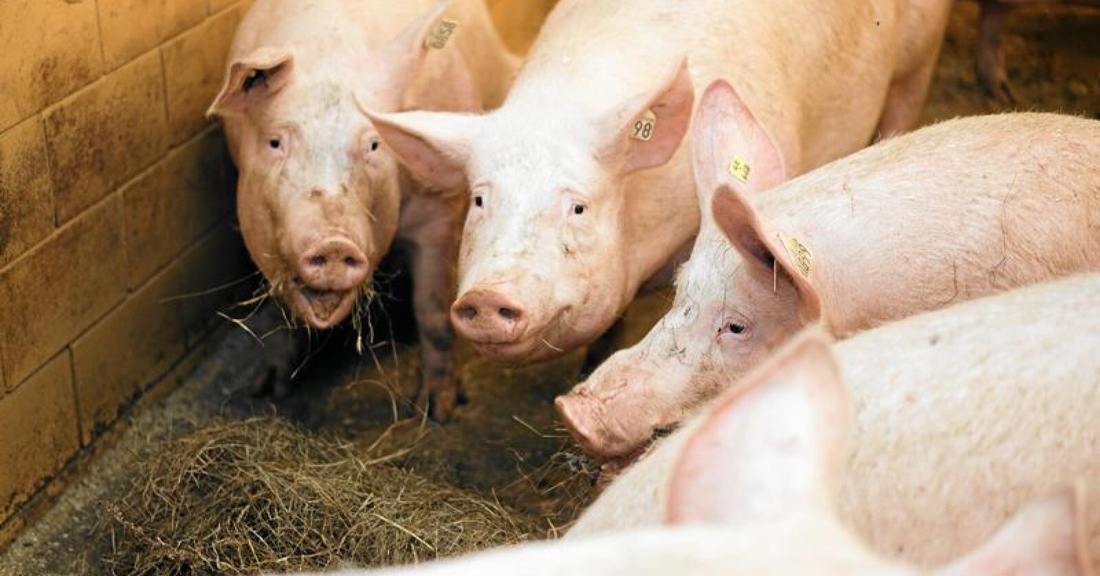 Tause: Mens debatten raser i kommentarfeltene om dyrevelferden i svinenæringen, er brasjen helt taus. Foto: Benjamin Hernes Vogl