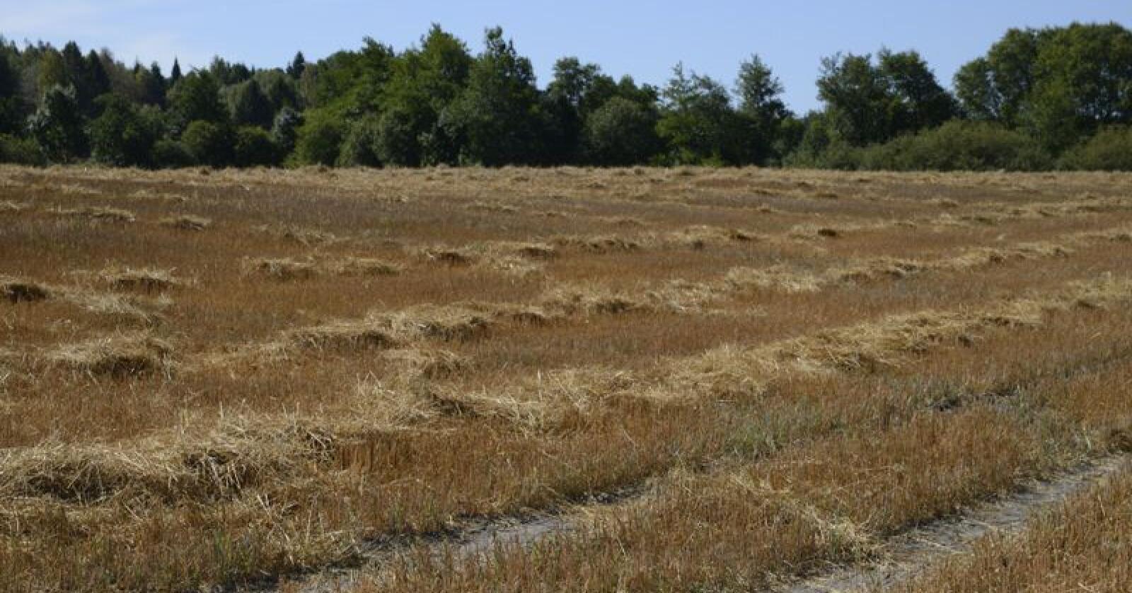 Reduserte avlinger både for korn og grovfôr utgjør den største delen. Foto: Mariann Tvete.