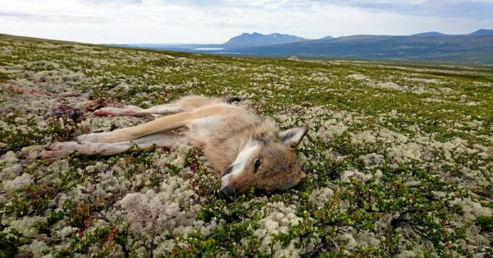 Denne hannulven ble felt i Rendalen i Nord-Østerdalen 28. juni 2018. Foto: SNO