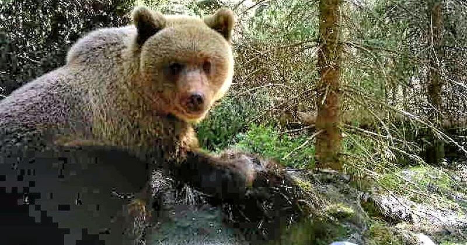 Denne bjørnen ble fotografert på viltkamera i Beitstad i Steinkjer. Foto: Viltkamera/Wiggo Oksvold