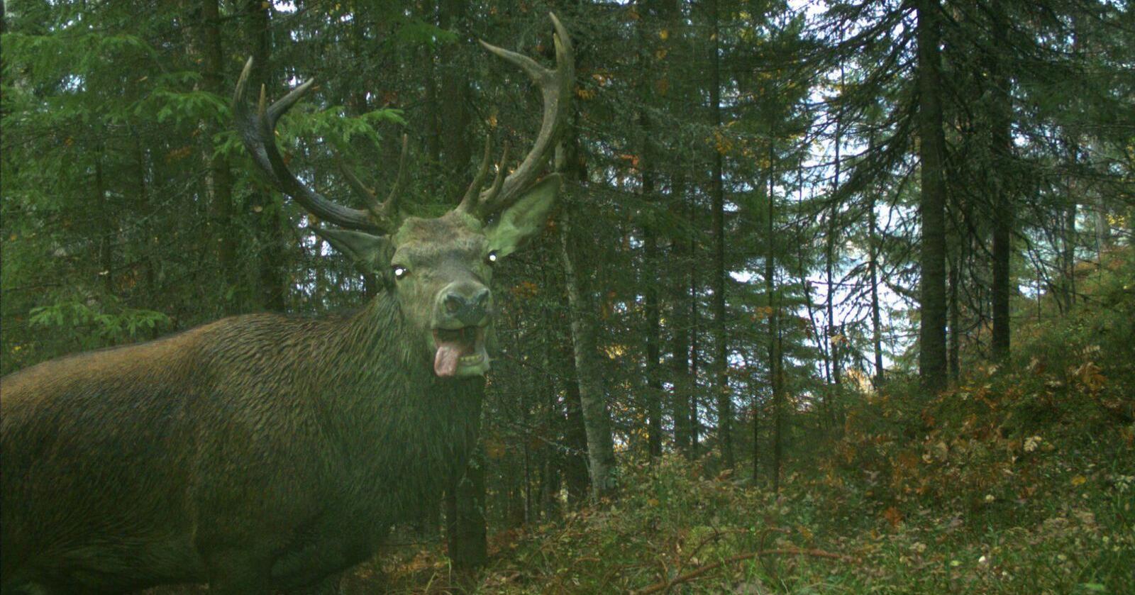 SMIL TIL KAMERA: Viltkameraene kan fange opp alt fra ekorn til elg. Man skulle nesten tro denne karen visste at han ble tatt bilde av. Foto:  NINA