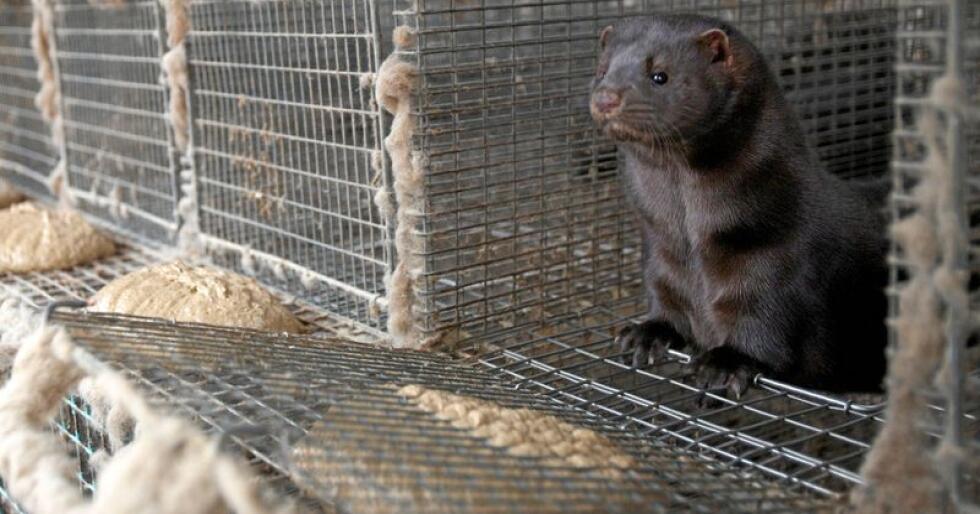 Stortinget har vedtatt å avvikle pelsdyrnæringen i Norge. Foto: Alf Ove Hansen / NTB scanpix