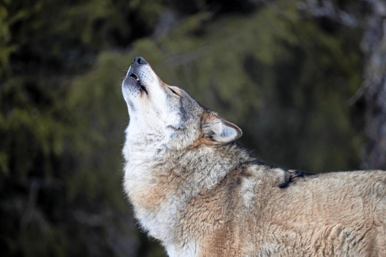 Norsk Sau og Geit mener det må tas ut nok en ulveflokk, sånn at fire flokker tas ut i løpet av vinteren. Foto Heiko Junge / NTB Scanpix